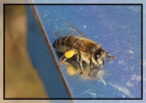 pollenbeladen