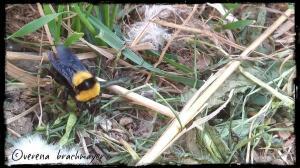 B.argillaceus -