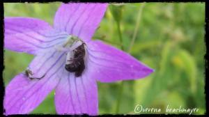 ev. Glockenblumen - Scherenbiene - Männchen