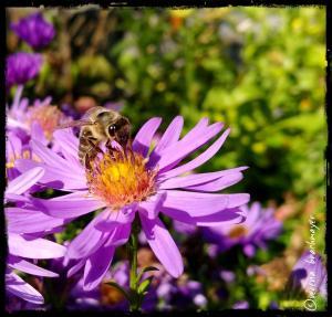 Herbstbienenweide