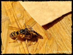 Wespe hat eine Biene zerlegt :0O