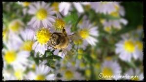 Herbstblumen als Bienenweide