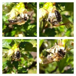 Erdsandbiene Männchen