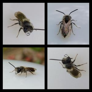 Erdsandbiene Männchen (andrena)