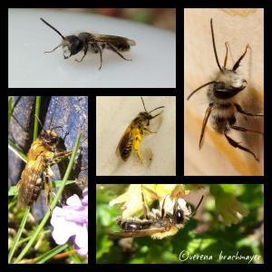 5 verschiedene bienenarten