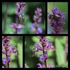 eine Kegelbiene