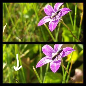Glockenblumen-Scherenbiene