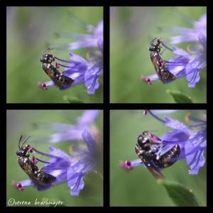 Maskenbienen - Weibchen (Hylaeus)