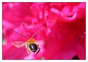 Langhornbienen-männchen